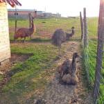 Emu austrálske